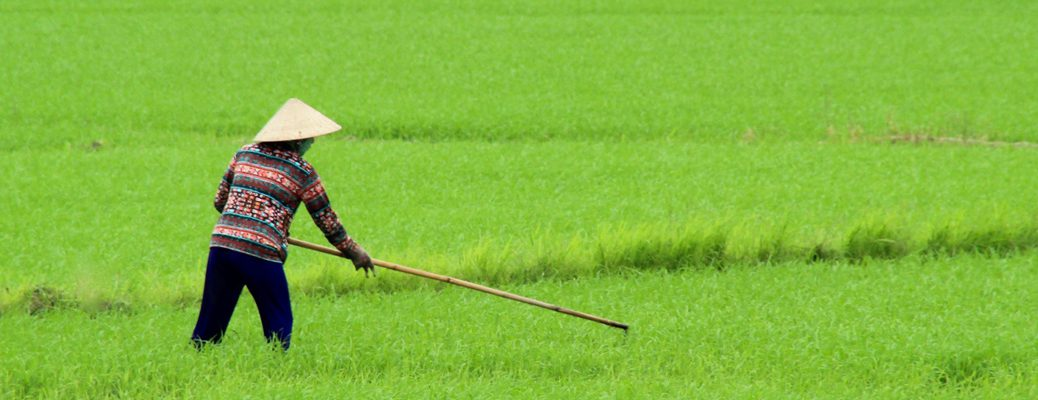 Farmer in rice field, Vietnam