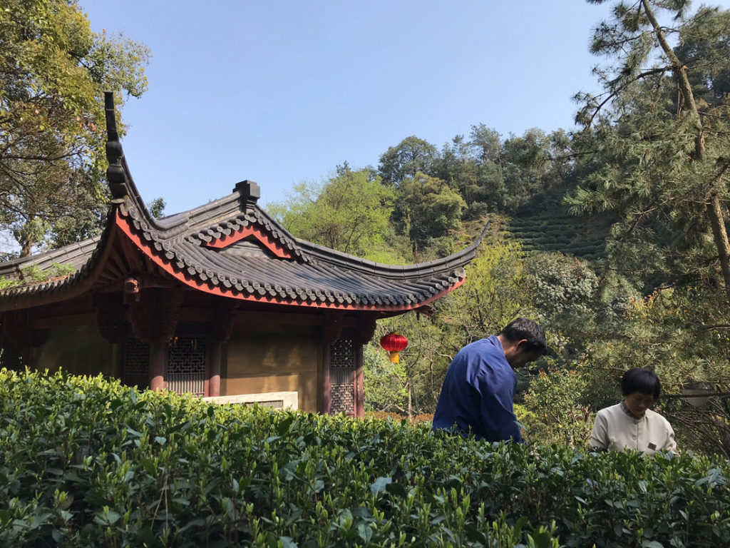Imperial garden tea picking